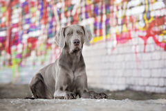 Weimaraner dog outdoors Royalty Free Stock Photography