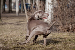 Weimaraner dog outside Royalty Free Stock Image