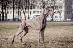 Weimaraner dog outside Royalty Free Stock Photo