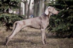 Weimaraner dog outside Royalty Free Stock Image
