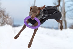 Weimaraner dog play. With frisbee Royalty Free Stock Images