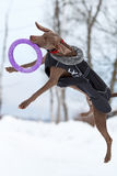 Weimaraner dog play. With frisbee Stock Photo