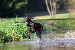 Weimaraner dog play and bring back branch Royalty Free Stock Photography
