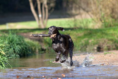 Weimaraner dog play and bring back branch Stock Image