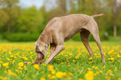 Weimaraner dog playing in a dandelion meadow Royalty Free Stock Photo