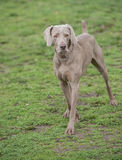 Weimaraner Dog Royalty Free Stock Image