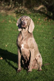 Weimaraner Dog Playing Royalty Free Stock Photography