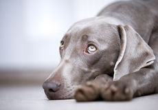 Weimaraner dog portrait. Portrait of cute Weimaraner dog resting head on ground royalty free stock image