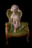 Weimaraner dog posing sitting on a chair Royalty Free Stock Photo