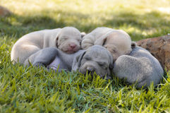Weimaraner. Dog Puppies Brothers Pets Stock Images