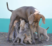 Weimaraner. Dog Puppies Family Pets Royalty Free Stock Photography