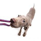 Weimaraner dog puppy - playing. Weimaraner dog puppy over white background Stock Photography