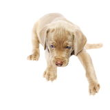 Weimaraner dog puppy, sitting side view, isolated on white Stock Images