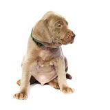 Weimaraner dog puppy, sitting side view, isolated on white Stock Photo