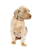 Weimaraner dog puppy, sitting side view, isolated on white Royalty Free Stock Image