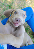 Weimaraner Dog Puppy Smile Stock Photos