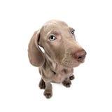 Weimaraner dog puppy - thinking. Weimaraner dog puppy over white background Royalty Free Stock Photo