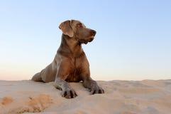 Weimaraner dog Royalty Free Stock Photos