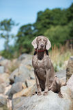 Weimaraner dog on the rocks Royalty Free Stock Image