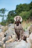 Weimaraner dog on the rocks Royalty Free Stock Image