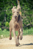Weimaraner dog run. In road Stock Photos