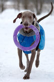 Weimaraner dog run. S and plays on the snow field Royalty Free Stock Photos