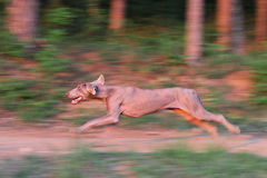 Weimaraner dog running Royalty Free Stock Images
