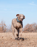 Weimaraner dog running at full speed Stock Photo