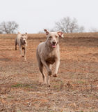 Weimaraner dog running full speed Royalty Free Stock Photo