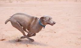 Weimaraner dog running full speed Stock Image
