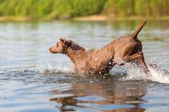 Weimaraner dog running in a lake Royalty Free Stock Photo