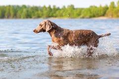 Weimaraner dog running in a lake Royalty Free Stock Image