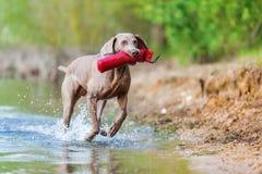 Weimaraner dog running in a lake Royalty Free Stock Photos