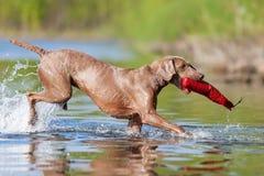 Weimaraner dog running in a lake Stock Photo