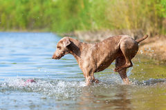 Weimaraner dog running in a lake Royalty Free Stock Photography