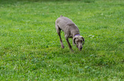 Weimaraner Dog running outside. Selective focus Royalty Free Stock Images