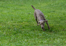 Weimaraner Dog running outside. Selective focus Stock Photos
