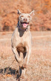 Weimaraner dog running to the viewer Royalty Free Stock Image