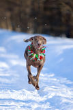 Dog run. Weimaraner dog runs on frozen road Stock Images