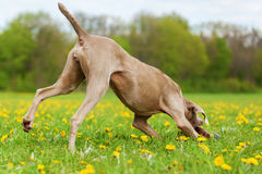 Weimaraner dog runs in the meadow Royalty Free Stock Photo