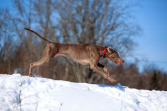 Weimaraner dog. Runs in winter Royalty Free Stock Photography