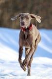 Weimaraner dog. Runs in winter Stock Photo