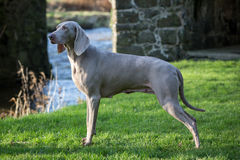 Weimaraner Dog Stock Photography