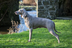 Weimaraner Dog Royalty Free Stock Photos