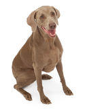 Weimaraner Dog Sitting Down Stock Photo