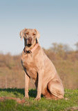 Weimaraner dog sitting Stock Image