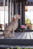Weimaraner dog sitting Royalty Free Stock Photo
