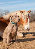 Weimaraner dog sitting next to his resting friend Stock Images