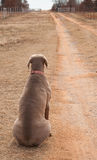 Weimaraner dog sitting on the side of a driveway Stock Photos