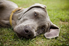 Weimaraner dog sleeping in a field Stock Images